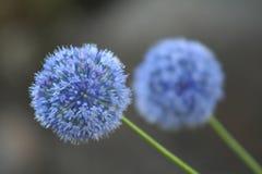 Allium Giganteum Royalty Free Stock Images