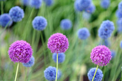 Allium Giganteum Photo stock