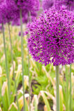 Allium giganteum Royalty Free Stock Photos