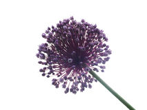 Allium Giganteum Royalty Free Stock Photography