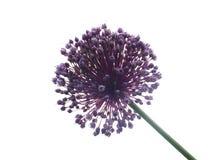 Allium Giganteum Photographie stock libre de droits