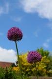 Allium giganteum Obrazy Stock