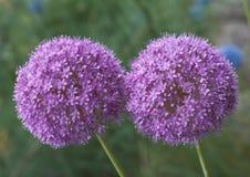 Allium Giganteum Royalty Free Stock Photo