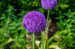 Allium giganteum Fotografia Royalty Free