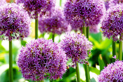 ALLIUM GIGANTEUM. Giant allium flower heads in sunshine Stock Photography
