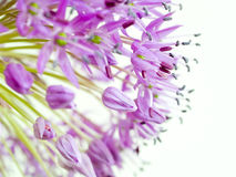 Allium Giganteum. A macro shot of giant onion (Allium giganteum Royalty Free Stock Images