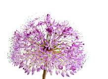 Allium Giganteum Stock Photo