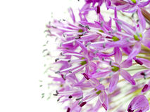 Allium Giganteum. A macro shot of giant onion (Allium giganteum Royalty Free Stock Photography