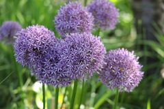 Allium giganteum. Common name giant onion, is an Asian species of onion, native to central and southwestern Asia but cultivated in many countries as a stock photo