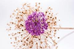 Allium Giganteum del fiore dell'allium con la decorazione Fotografie Stock Libere da Diritti