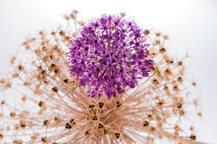 Allium Giganteum del fiore dell'allium con la decorazione Fotografie Stock
