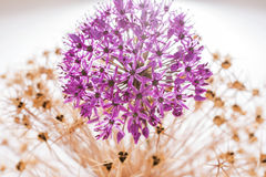 Allium Giganteum del fiore dell'allium con la decorazione Fotografia Stock