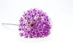 Allium Giganteum dell'allium in fiore pieno isolato Fotografie Stock Libere da Diritti