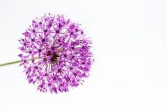 Allium Giganteum dell'allium in fiore pieno isolato Immagini Stock
