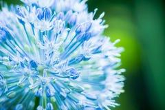 Allium Giganteum dell'allium che fiorisce nel giardino Fotografie Stock Libere da Diritti