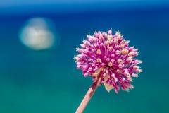 Allium Giganteum en Zakynthos fotos de archivo libres de regalías