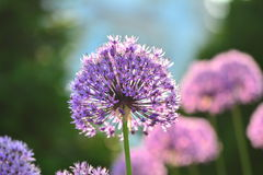 Allium Giganteum featured with pleasing bokeh. Flower shown against blurry background; Round flowers shown in soft focus; Round purple flowers shown in pleasing royalty free stock photos
