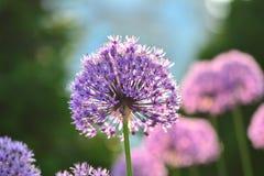 Allium Giganteum featured with pleasing bokeh Royalty Free Stock Photos