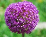 Allium Giganteum Royalty Free Stock Photos