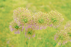 Allium Giganteum flowers Royalty Free Stock Photo