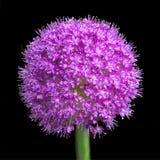 Allium Giganteum, fully blooming royalty free stock photos