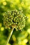 Allium giganteum Stock Image