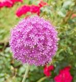 Allium giganteum jest w pełnym kwiacie obrazy royalty free