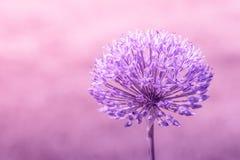 Allium Giganteum nei colori viola Fotografia Stock Libera da Diritti