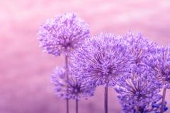 Allium Giganteum in pink colors Royalty Free Stock Image