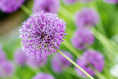 Allium giganteum,Purple flower Royalty Free Stock Image