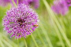 Allium giganteum,Purple flower Stock Photography