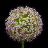 Allium Giganteum, subito dopo fiorire Fotografia Stock Libera da Diritti