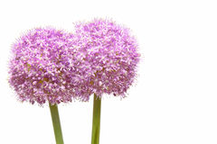 Allium gigateum in a white background Royalty Free Stock Photo