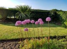 Allium gladiator zdjęcia stock