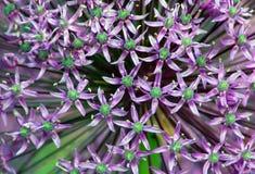 Allium gladiator zdjęcie royalty free