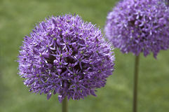 Allium Gladiator. Large allium gladiator, common name ornamental onion, in spring Stock Photo