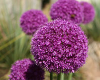 Allium Gladiator Royalty Free Stock Image