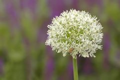 Allium Globemaster Stock Photography