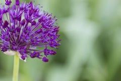 Allium - Globemaster Immagini Stock