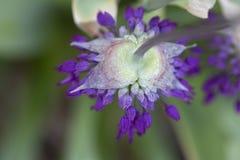 Allium - Globemaster Fotografia Stock
