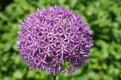 Allium Globemaster Fotografia Stock Libera da Diritti