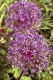 Allium 'Globemaster' Immagini Stock
