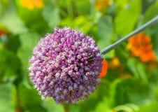 Allium Globemaster Flower in sunlight. stock photo