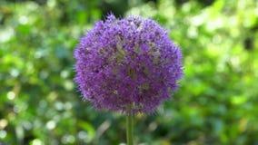 Allium ` Globemaster ` kwiat, Także Nazwany jako Ornamentacyjna cebula zbiory wideo