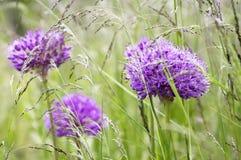 Allium hollandicum, group of purple persian ornamental onion flowers in bloom Stock Photos