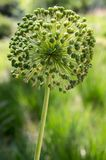 Allium hollandicum, one faded persian ornamental onion flower in the garden Stock Images