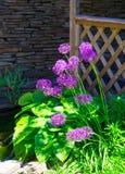 Allium Hollandicum `Purple Sensation` Dutch Garlic Or Persian Onion In A Flowerbed. Stock Image