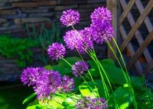 Allium Hollandicum `Purple Sensation` Dutch Garlic Or Persian Onion In A Flowerbed. Stock Images