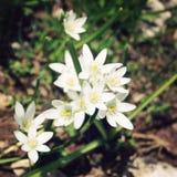 Allium Humile, wild onion flowers. Aged photo. Royalty Free Stock Images