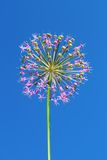 Allium inflorescence royalty free stock images